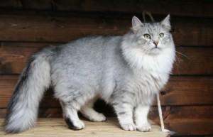 Cara Merawat Kucing Anggora Dengan Benar
