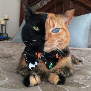 HEBOH…! Kucing Ini Gabungan Panther dan Harimau