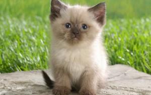 Tips Merawat Kucing Himalaya