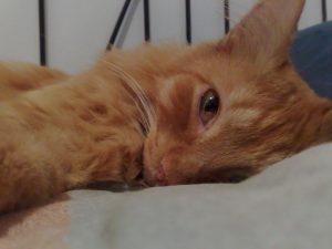 Cara Menyembuhkan Infeksi Mata Kucing