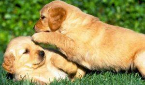 Cara Merawat Bulu Pada Golden Retriever