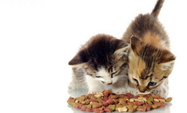 Cara Meningkatkan Nafsu Makan Kucing